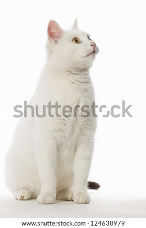 Portrait of a white cat on a white background which looks intently
