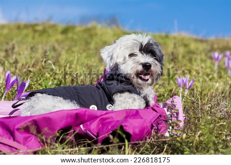 portrait of a white dog laying down  in a field of flowers - stock photo