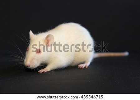 Portrait of a white domestic rat on a black background - stock photo