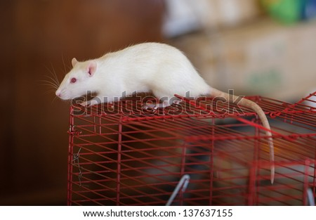 Portrait of a white domestic rat on a cage