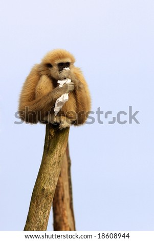 Portrait of a White-handed Gibbon with a  handkerchief in her hand