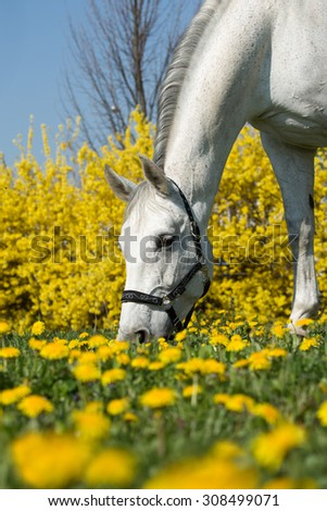 Portrait of a white horse grazing - stock photo