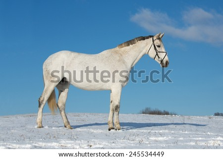 Portrait of a white horse on a snowy meadow  - stock photo