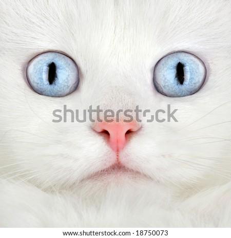Portrait of a white kitten ... - stock photo