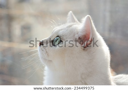 Portrait of a white kitten in profile.;