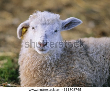 Portrait of a white lamb - stock photo