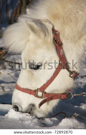Portrait of a white pony in the winter