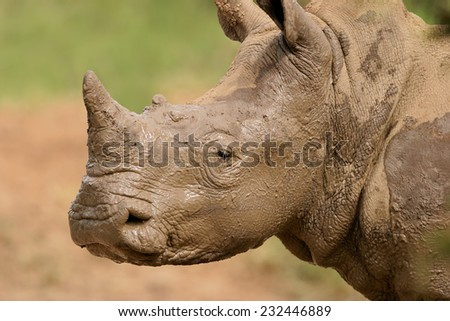 Portrait of a White rhinoceros (Ceratotherium simum) covered in mud, South Africa - stock photo