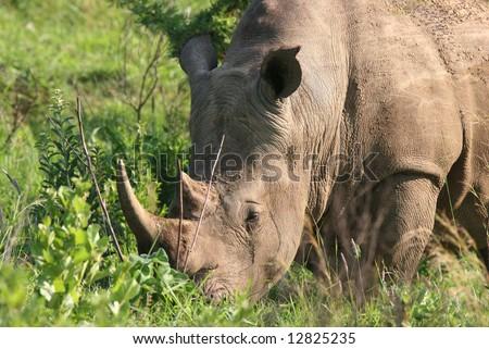 Portrait of a white (square-lipped) rhinoceros (Ceratotherium simum). Hluhluwe-Umfolozi National Park. Zululand. South Africa. - stock photo