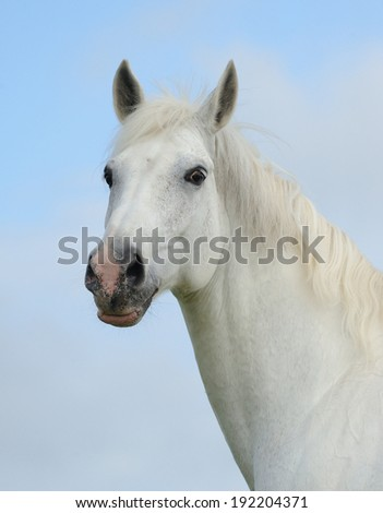 Portrait of a white tersk horse - stock photo