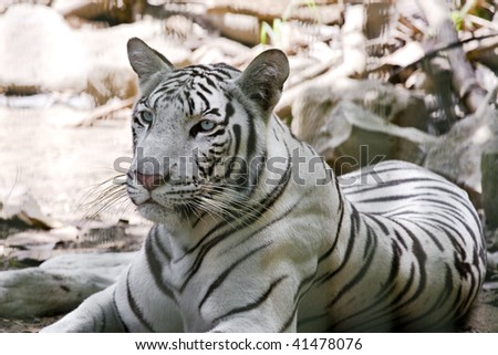 Portrait of a white tiger - stock photo