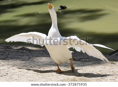 Portrait of a white wild goose. Bird spread its wings on the shores of lake.  - stock photo