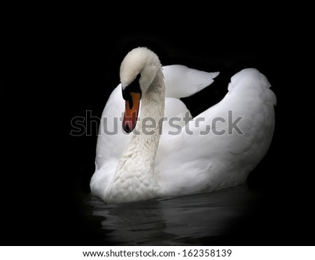 Portrait of a whooping swan, isolated on black background. White swan with orange beak in twilight. Wild beauty of a excellent web foot bird. - stock photo