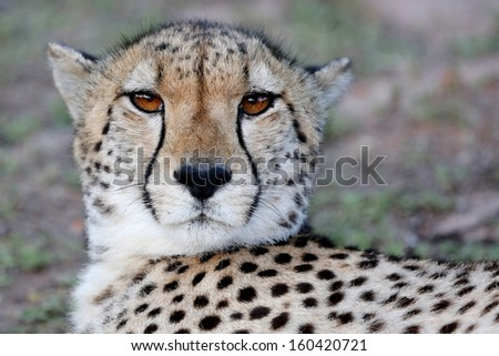 Portrait of a wild Cheetah cat with beautiful brown eyes - stock photo