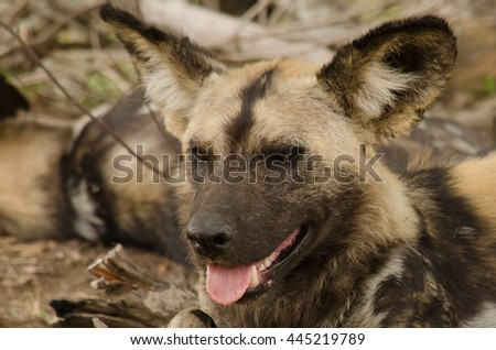 portrait of a wild dog smiling - stock photo