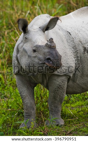 Portrait of a Wild Great one-horned rhinoceros. India.