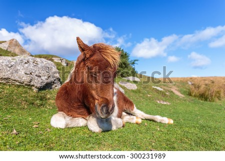 Portrait of a wild horse in Dartmoor National Park in United Kingdom. - stock photo