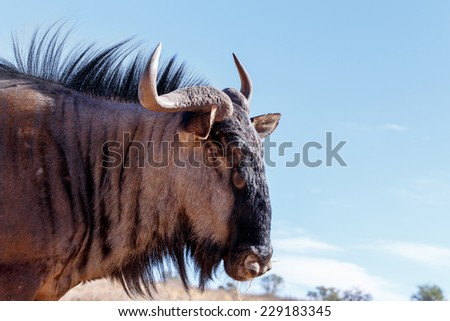 portrait of A wild Wildebeest Gnu, Kgalagadi Transfrontier Park, Botswana, true wildlife - stock photo