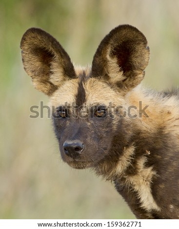 Portrait of a wilddog, or Cape Hunting Dog, South Africa. (Lycaon pictus) - stock photo