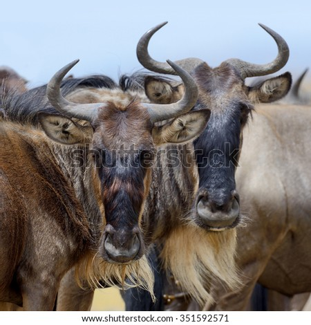 Portrait of a wildebeest, National park of Kenya, Africa - stock photo