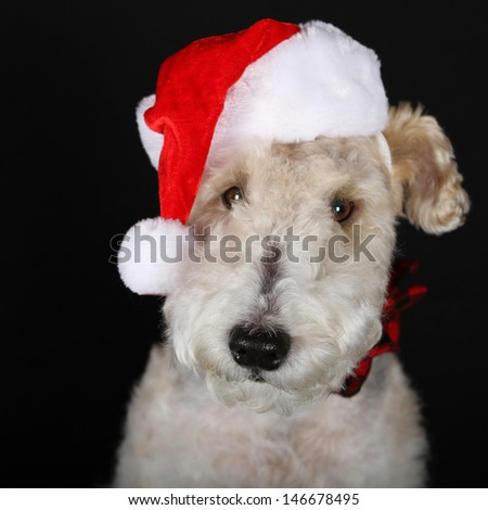 Portrait of a Wire Fox Terrier Dressed for Christmas - stock photo