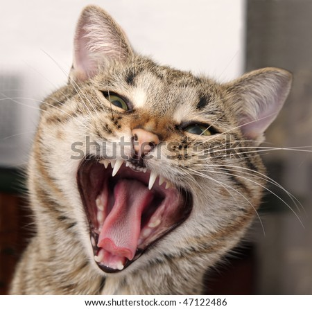 Portrait of a yawning cat with a sharp teeth - stock photo