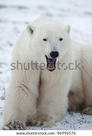 Portrait of a yawning polar bear. Close up a portrait of a polar bear.