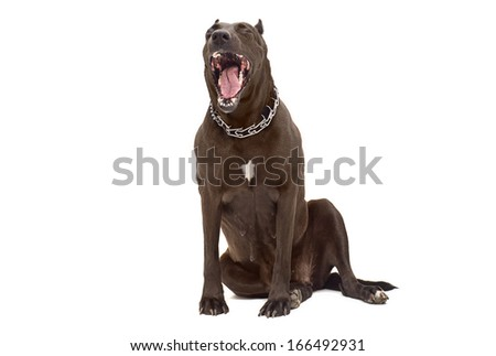 Portrait of a yawning Staffordshire Terrier - stock photo