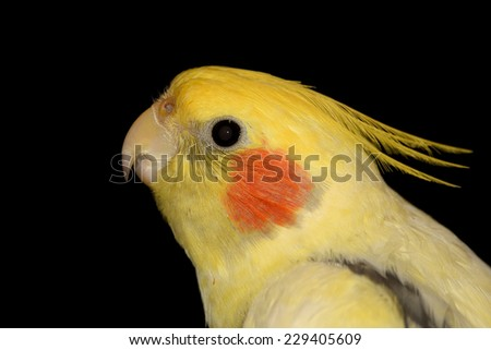 Portrait of a yellow Cockatiel on black background. - stock photo