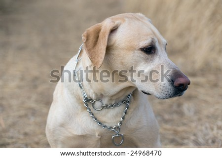 Portrait of a yellow Lab - stock photo