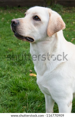 Portrait of a yellow labrador retriever one and a half years old - stock photo