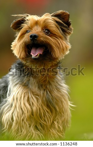 Portrait of a yorkshire dog - stock photo