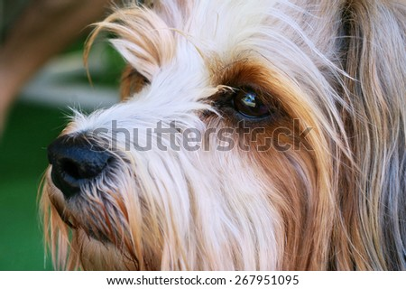 Portrait of a yorkshire terrier - stock photo