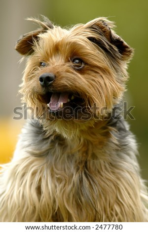 Portrait of a yorkshire terrier dog with green background - stock photo