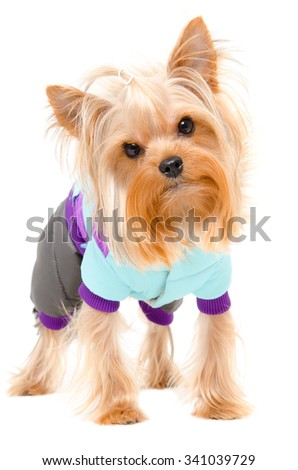 Portrait of a Yorkshire terrier in a warm suit standing isolated on white background - stock photo