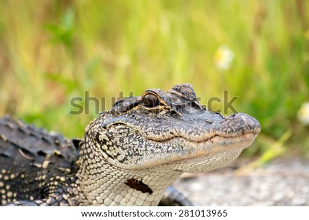 Portrait of a young American alligator in a Florida swamp - stock photo