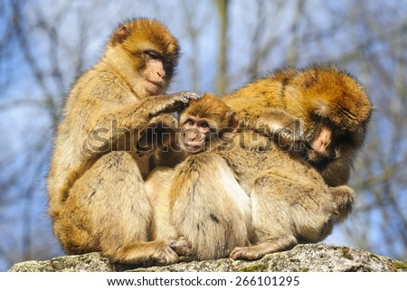 Portrait of a young Barbary macaque sitting between two adult females, Netherlands - stock photo