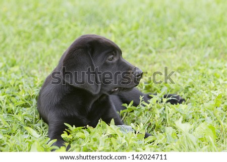 portrait of a young black labrador puppy