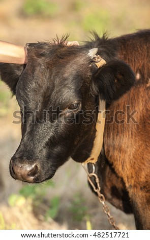 Portrait of a young bull. Calf on pasture.