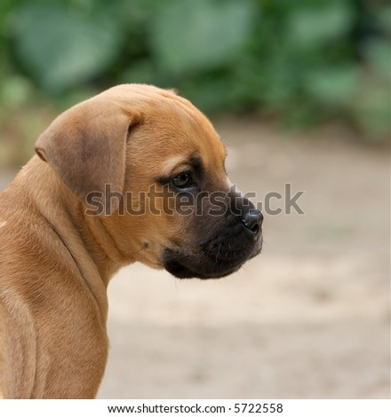 Portrait of a young bull-mastiff puppy - stock photo