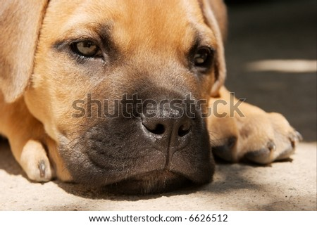 Portrait of a young bull-mastiff puppy lying on the ground - stock photo
