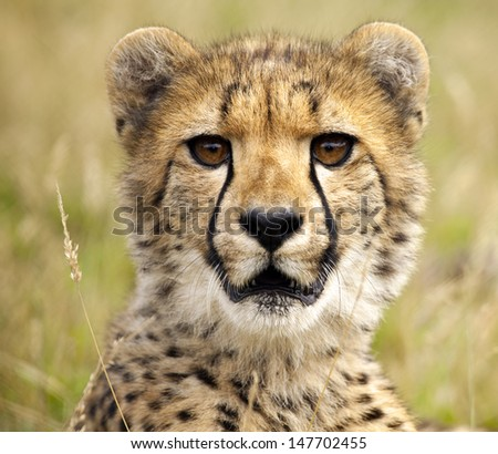 Portrait of a young cheetah