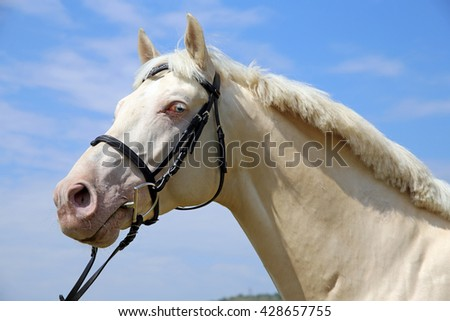 Portrait of a young cremello stallion