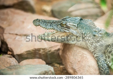 Portrait of a young crocodile - stock photo