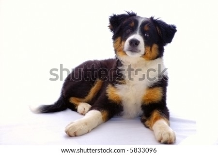 Portrait of a young dog (cross between a Border Collie and a Bouvier Bernois) isolated on white. - stock photo