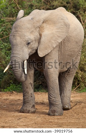 Portrait of a young elephant in the African bush - stock photo