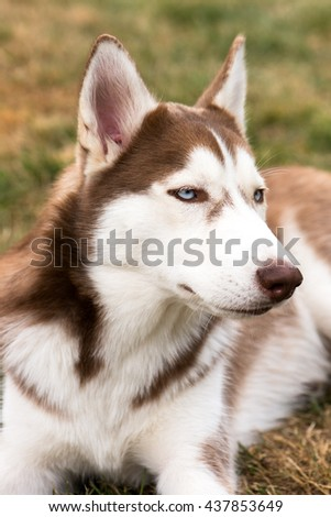 portrait of a young, fluffy purebred Siberian husky dog. brown fur and bright blue eyes. 6 months old, domestic breed, perfect for family and kids. very friendly. - stock photo