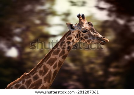 Portrait of a young giraffe on soft nature background