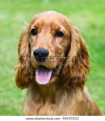 Portrait of a young handsome cocker spaniel puppy dog - stock photo