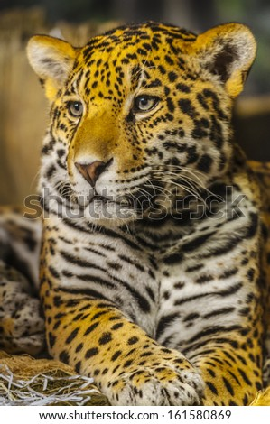 Portrait of a young Jaguar Cat looking towards the camera - stock photo